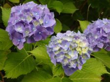 紫陽花が綺麗に咲いています